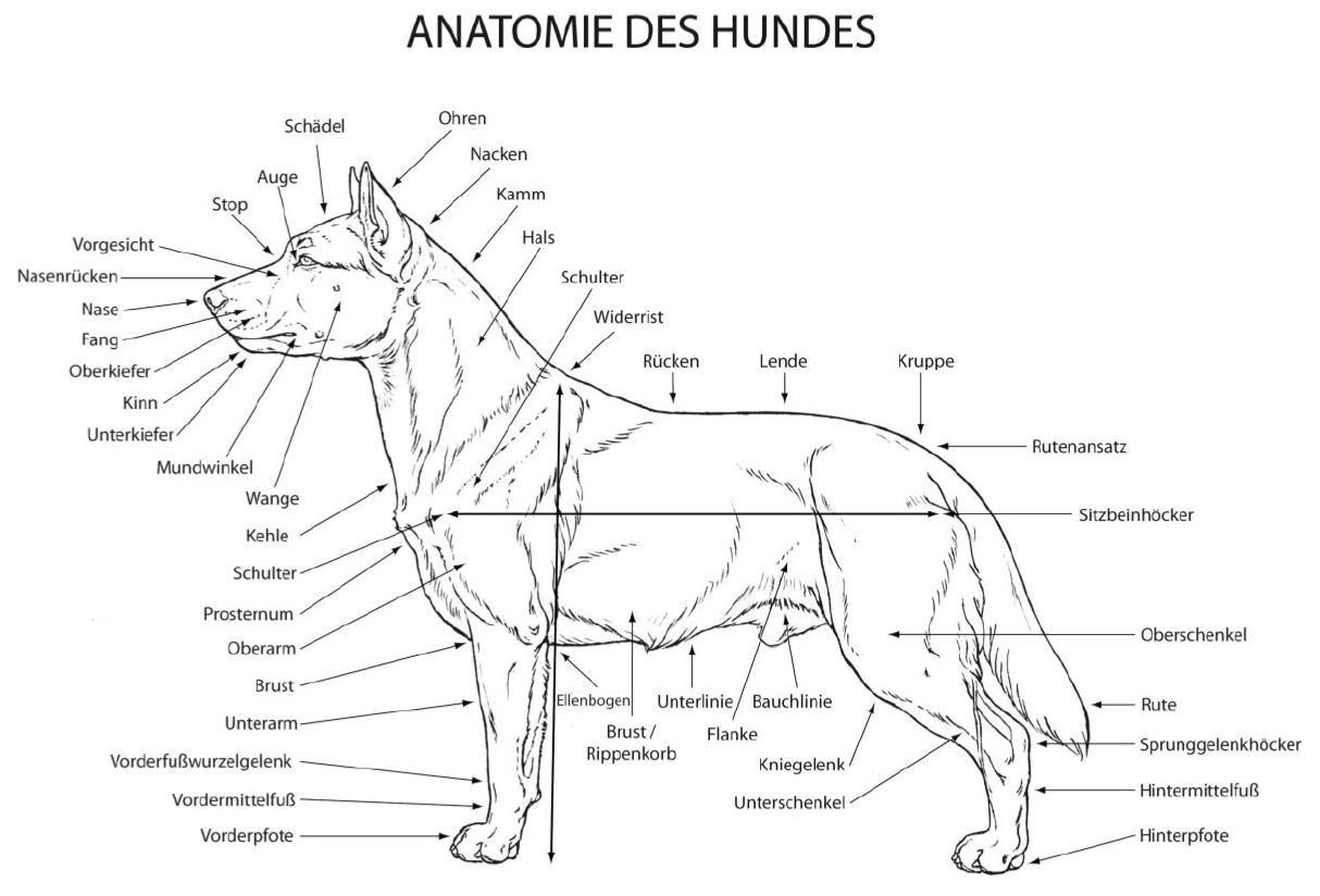 Anatomie Boston Terrier